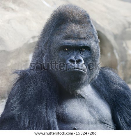 Bust portrait of a gorilla male, severe silverback, on rock background. Menacing expression of the great ape, the most dangerous and biggest monkey of the world. The chief of a gorilla family. - stock photo