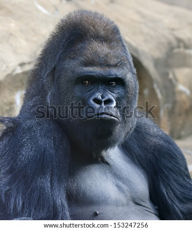 Bust portrait of a gorilla male, severe silverback, on rock background. Menacing side look of the great ape, the most dangerous and biggest monkey of the world. The chief of a gorilla family.