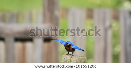 Busy Bluebird nesting in the spring - stock photo