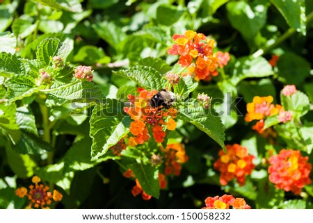 Busy bumble bee collecting pollen at colorful flowers. selective focus, shallow dof - stock photo