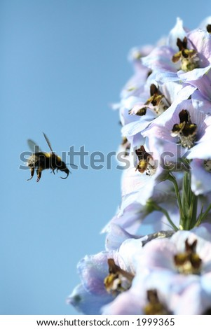 Busy bumble bee, working at a stack of delphiniums - stock photo