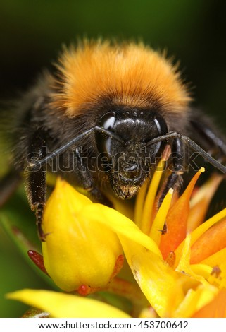 Busy bumblebee in yellow flower close-up macro - stock photo