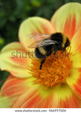 Busy bumblebee on a yellow orange flower