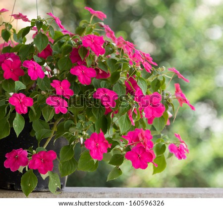 Busy Lizzie flowers beautiful pink. - stock photo