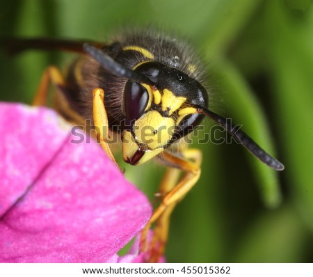 Busy wasp working in pink flower close-up macro - stock photo