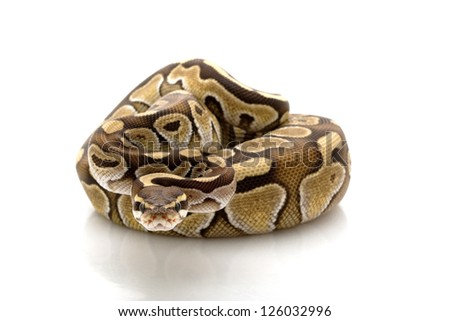 butter ball python (Python regius) isolated on white background. - stock photo
