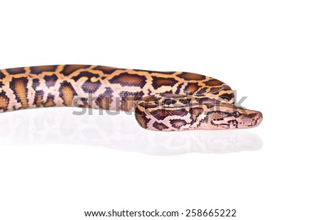 butter ball royal python moorish viper boa snake isolated on white - stock photo