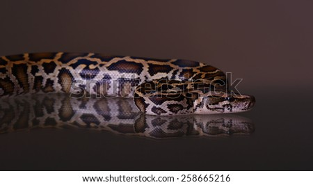 butter ball royal python moorish viper boa snake on dark background - stock photo