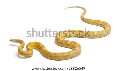 Butter mothley Corn Snake or Red Rat Snake, Pantherophis guttatus, in front of white background - stock photo