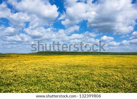 Buttercup flowers in field - stock photo