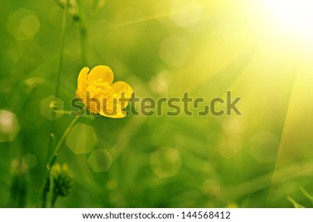 Buttercup yellow flower on the green meadow with sun rays - stock photo
