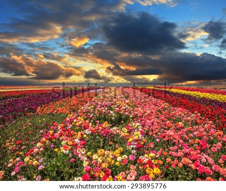 Buttercups blooming garden. Farmers field with flowers grown for export sales. Spring cloud illuminated by the sunset - stock photo