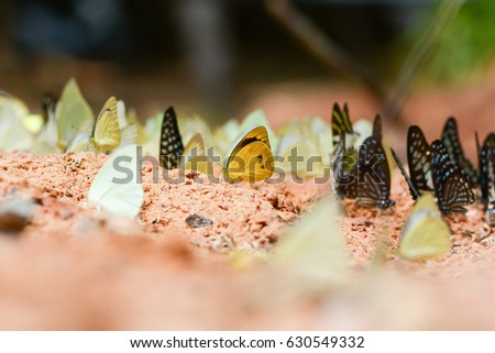 Butterflies eat the minerals in the soil and stone at Pangsida national park in Thailand, copy space