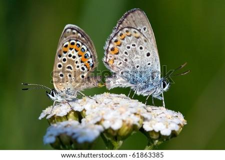 butterflies mate - stock photo