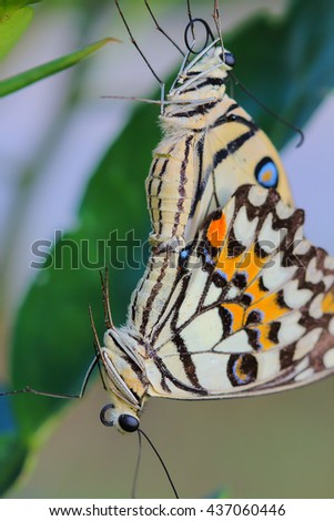 Butterflies mating in the mating season . - stock photo