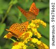 Butterflies on a yellow flowers (Silver-Washed fritillary) - stock photo