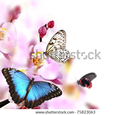 Butterflies on blossoms of orchid, isolated on white background - stock photo
