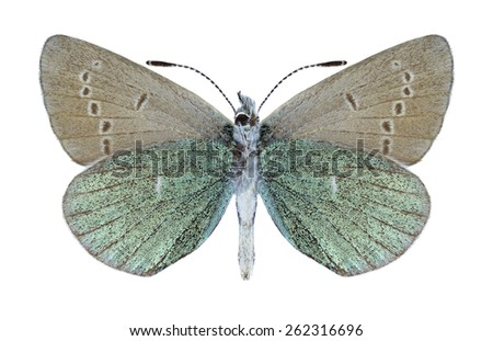 Butterfly Albulina metallica (male) (underside) on a white background - stock photo