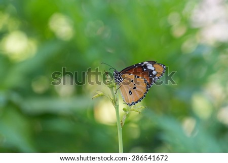 Butterfly and flower,common tiger - stock photo