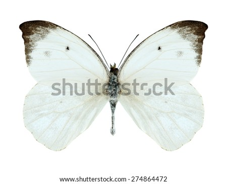 Butterfly Appias lalassis indroides (male) on a white background - stock photo