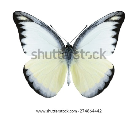 Butterfly Appias lyncida (male) on a white background - stock photo
