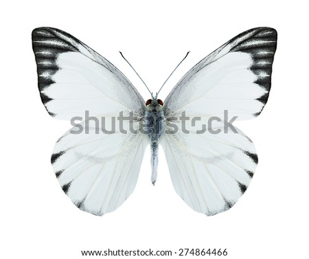 Butterfly Appias olferna (male) on a white background - stock photo