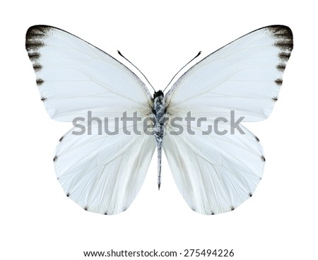 Butterfly Appias sabina on a white background - stock photo