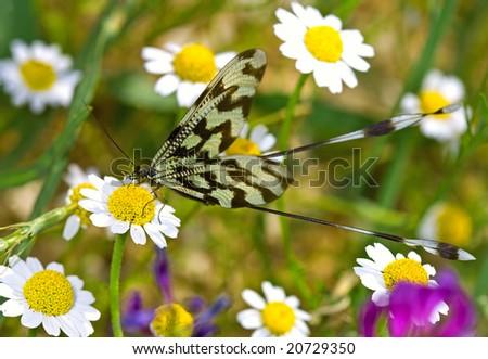 butterfly at daisy field Nemoptera sinuata taken with macro at mountain at Antalya, Turkey - stock photo