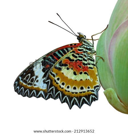 Butterfly, beautiful Leopard Lacewing butterfly,Malayan Lacewing butterfly isolated on white background.(Cethosia cyane) - stock photo