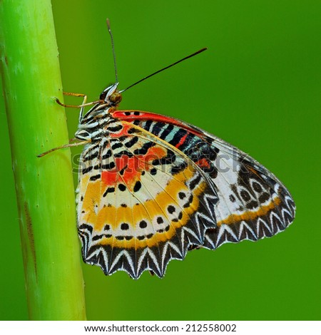 Butterfly, beautiful Leopard Lacewing butterfly ,Malayan Lacewing butterfly on green background.(Cethosia cyane) - stock photo