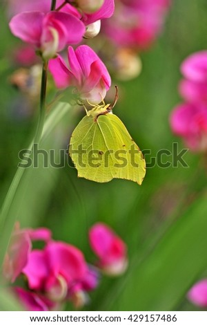 Butterfly. Butterfly on flower. Butterfly. Butterfly in nature. Yellow butterfly in flowers garden. Butterfly. Butterfly in nature. Butterfly. Butterfly and vetchling flowers. - stock photo