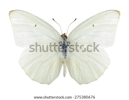 Butterfly Catopsilia florella on a white background - stock photo