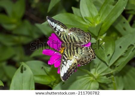 Butterfly  (Clipper : Parthenos sylvia ) - stock photo