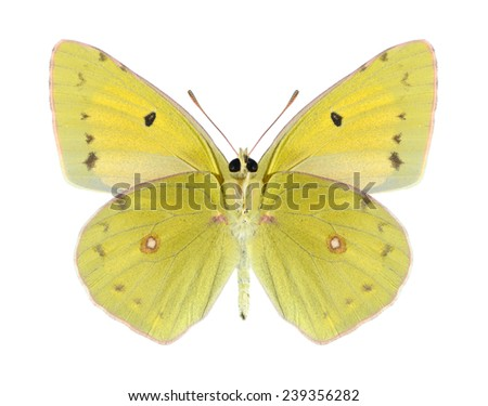 Butterfly Colias aurorina (male) (underside) on a white background - stock photo