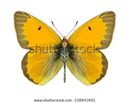 Butterfly Colias chrysotheme elena (male) on a white background - stock photo