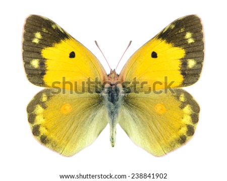 Butterfly Colias croceus on a white background - stock photo