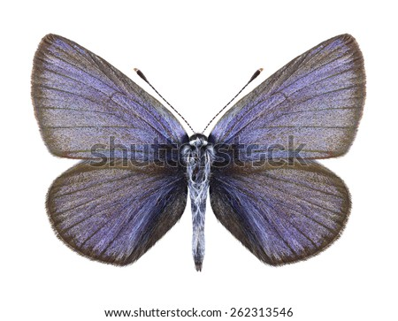 Butterfly Cyaniris semiargus (male) on a white background - stock photo