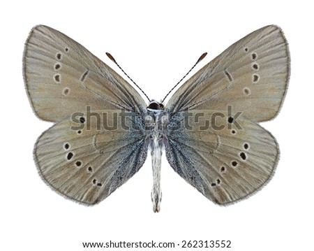Butterfly Cyaniris semiargus (male) (underside) on a white background - stock photo