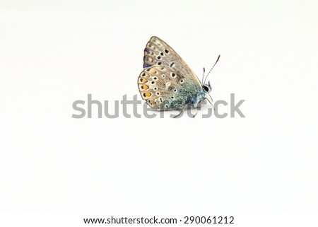 butterfly cytisus bluebird ,argus bluebird, plebejus argus - stock photo