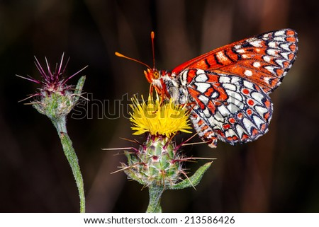Butterfly drinking nectar from Yellow Thistle, Santa Monica Mountains, California. - stock photo