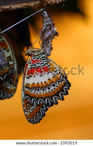 Butterfly Emerges From Cocoon - stock photo