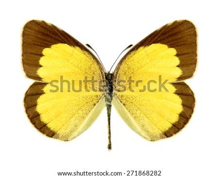 Butterfly Eurema brigitta (female) on a white background - stock photo