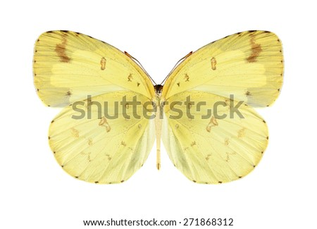 Butterfly Eurema hecabe (male) (underside) on a white background - stock photo