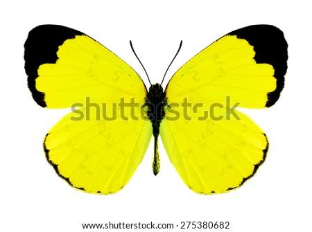 Butterfly Eurema simulatrix (male) on a white background - stock photo