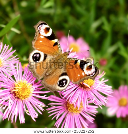 butterfly european peacock on aster flower, aglais io, inachis io, nymphalis io - stock photo