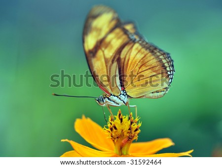 butterfly, feeding costa rica 1 - stock photo
