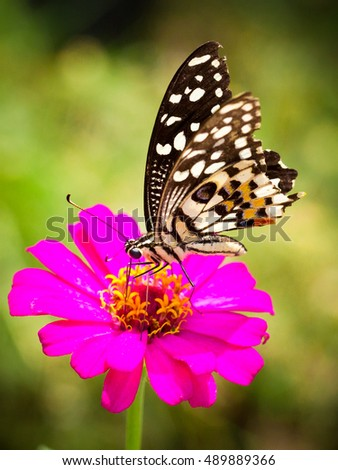 Butterfly feeding on a bright pink flower (focus on butterfly drinking_