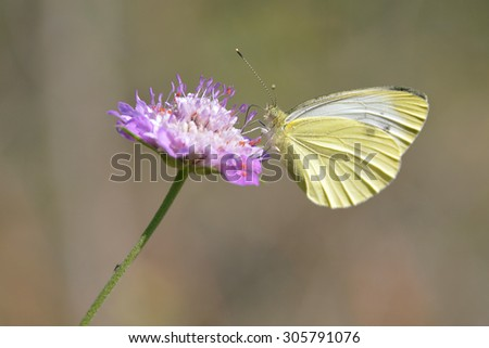 Butterfly feeding on flower - stock photo