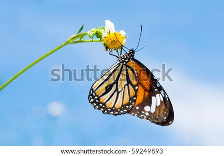 Butterfly feeding on little white flower. common tiger (Danaidae), Taiwan, East Asia. - stock photo