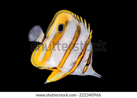 Butterfly fish isolated on black - stock photo